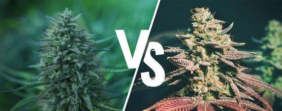 Fotoperiode Versus Autoflowering Cannabis: Wat Is Het Beste Voor Jou?
