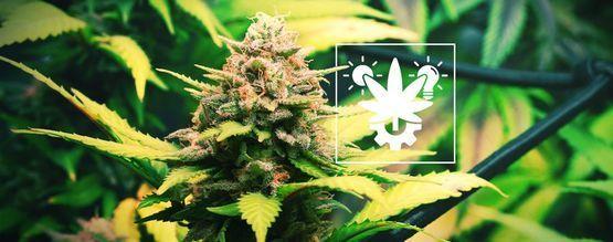 Tips Voor Het Binnen En Buiten Kweken Van Autoflowering Cannabis