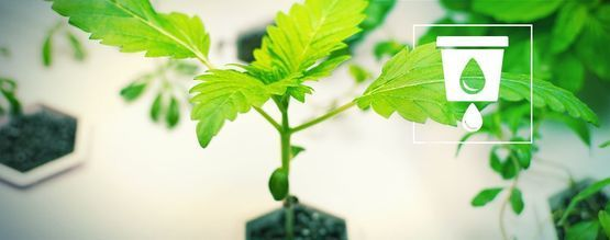 Cannabis Kweken In Hydrocultuur