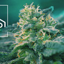 Wat Zijn CBD-Rijke Cannabissoorten?