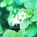 Verbeter Je Cannabiskweek Met Gezelschapsplanten: Munt