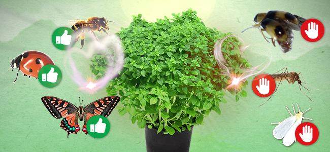 Cannabis gezelschapsplant: basilicum