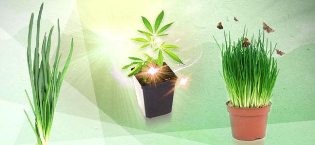 Cannabis Gezelschapsplant: Bieslook