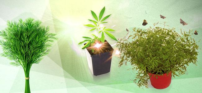 Cannabis Gezelschapsplant: Dille