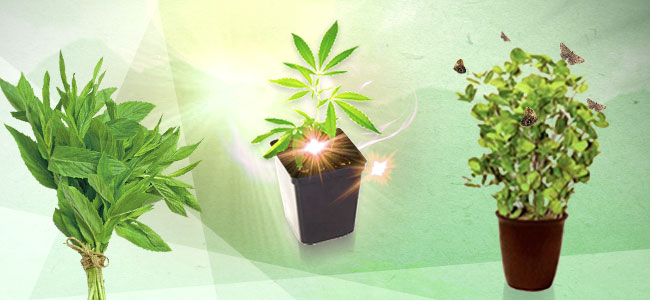 Verbeter Je Cannabiskweek Met Gezelschapsplant: Munt