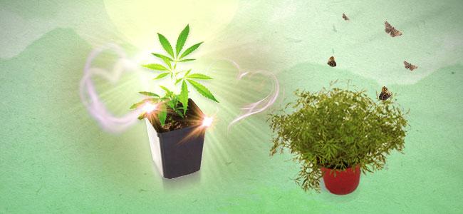 Cannabis Gezelschapsplant Dille