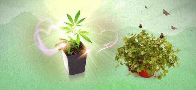 Koriander en cannabis