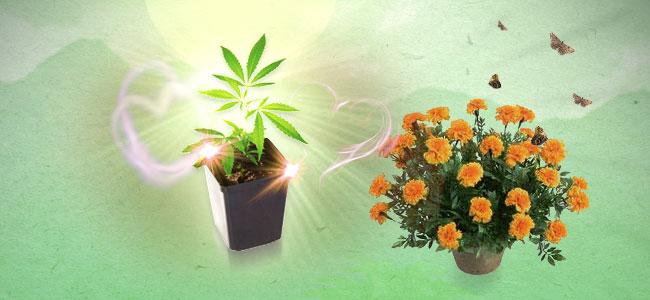 Cannabis Combinatieteelt Goudsbloemen