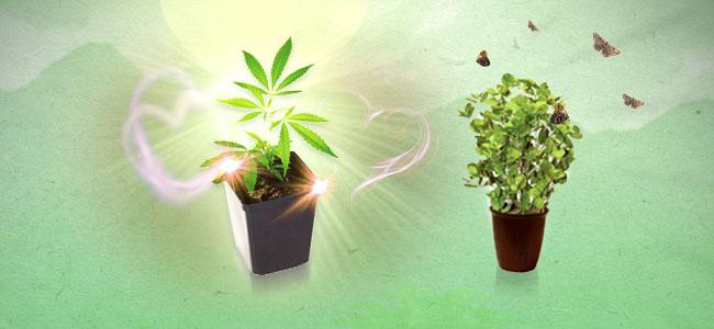 Munt en cannabis
