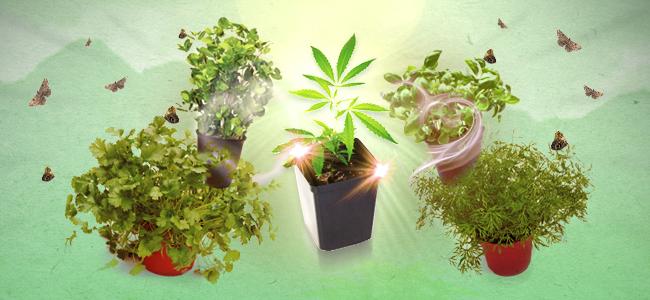 Combinatieteelt cannabis