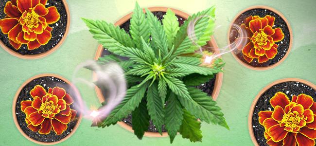 creëer dan een buitenste beschermlaag rondom je cannabisperk