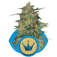 Royal Queen Seeds - Royal Highness