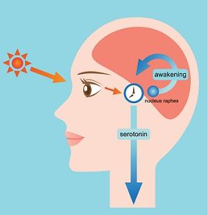 Serotonina ciclo luce-buio