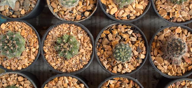 Mescaline Cactus Gids