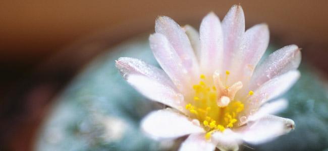 Peyote mescaline cactus
