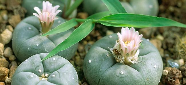 Kleine Peyote cactus