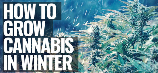 Hoe Kweek Je Cannabis In De Winter?