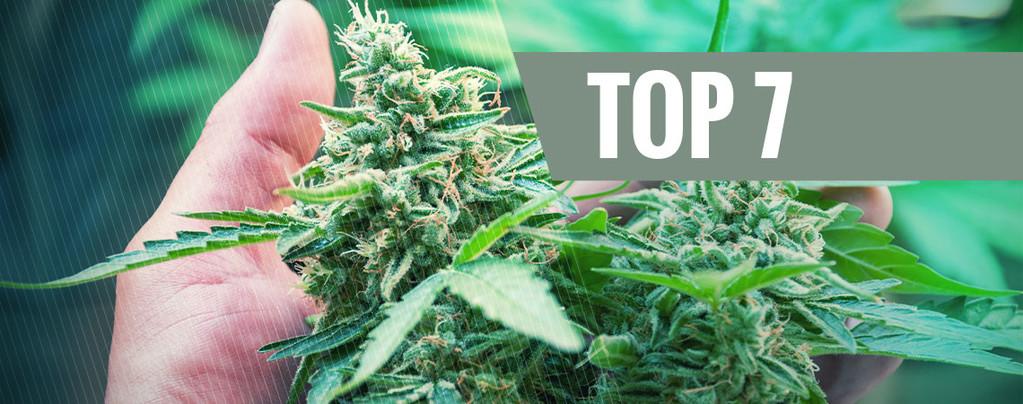 Stress Cannabis Plant