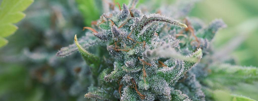 Biologische Cannabis