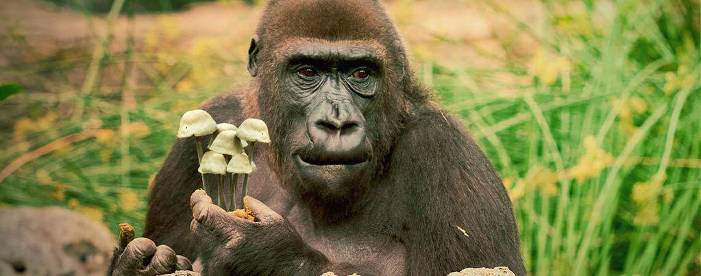 De Stoned Ape-Theorie Van De Menselijke Evolutie