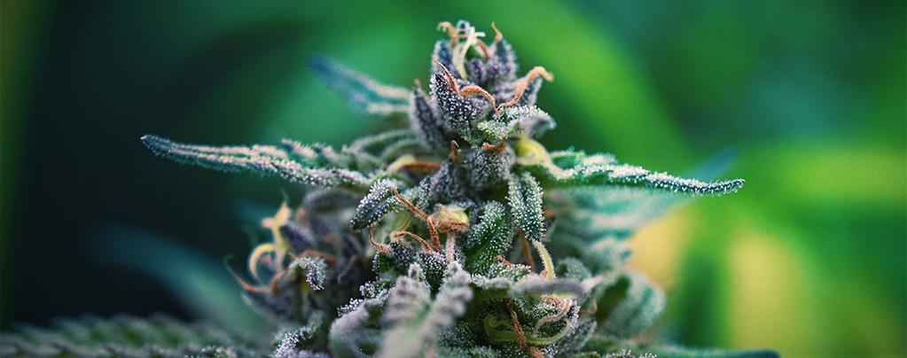Cannabis Strains Voor Pijnstilling