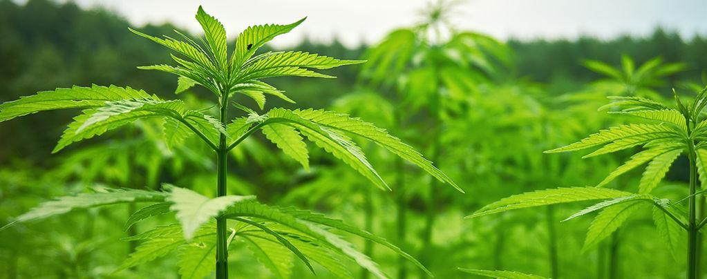 Buitenkweek Cannabis