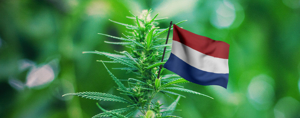 De Beste Cannabisplanten Om Buiten Te Kweken In Nederland