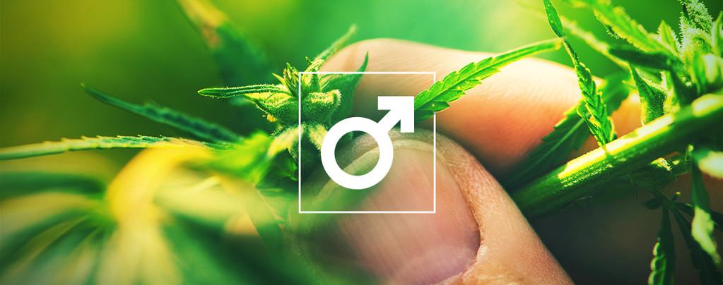 Hash Van Mannelijke Cannabis Plant