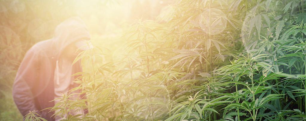 Cannabis Strains Voor Guerrilla-Kweek