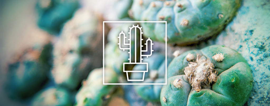 Mescaline Cactussen