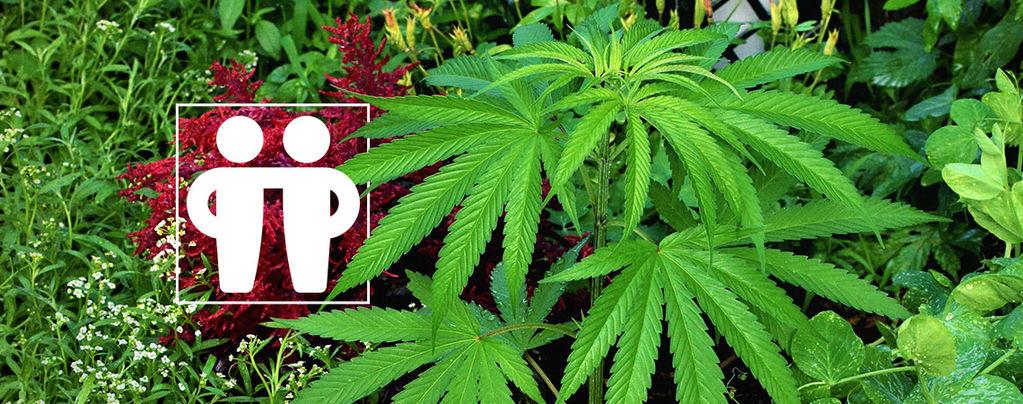 Het Voeden & Beschermen Van Je Cannabis