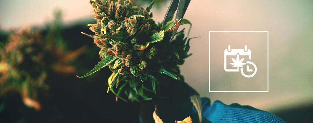 Oogsten Cannabis