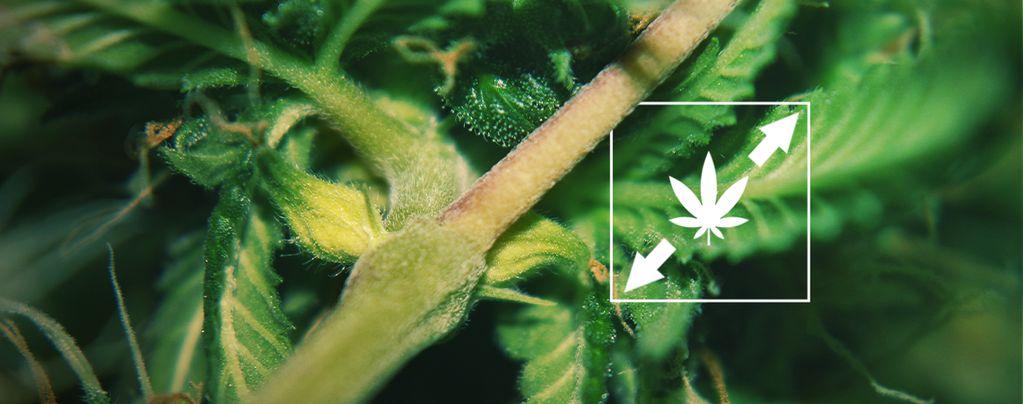 Uitstrekken Cannabisplanten Verminderen