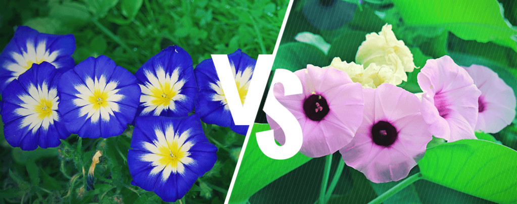 Morning Glory Vs. Hawaiian Baby Woodrose