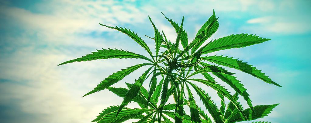 Cannabissoorten Warm Klimaat