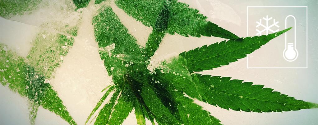 Cannabiszaden Koudere Klimaten