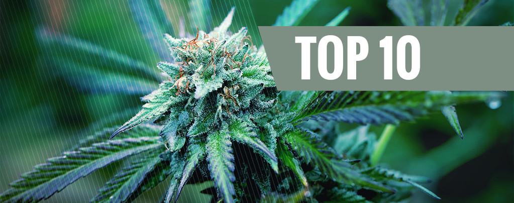 Medische Marihuana Soorten