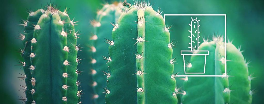 San Pedro (Echinopsis pachanoi) 20 zaden