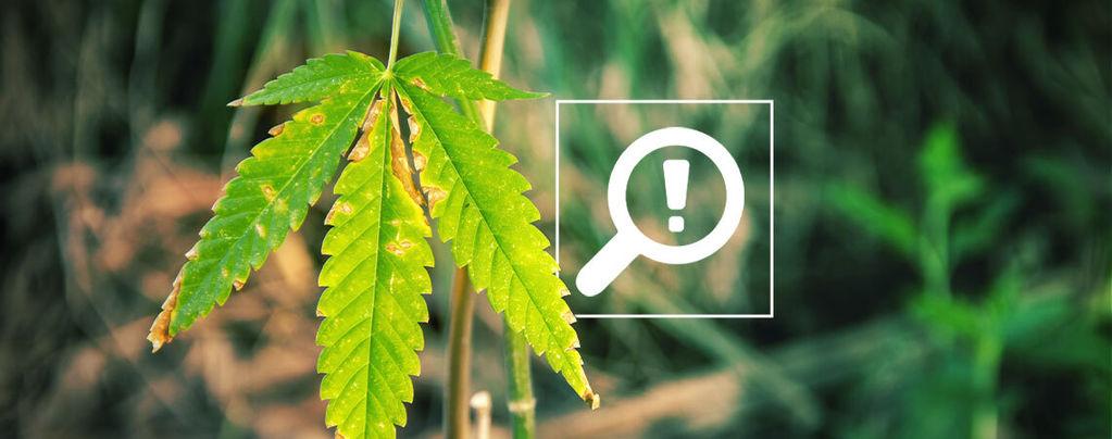 Problemen Bloeiperiode Van Cannabis