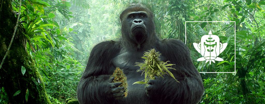 Gorilla Glue Cannabis Soorten