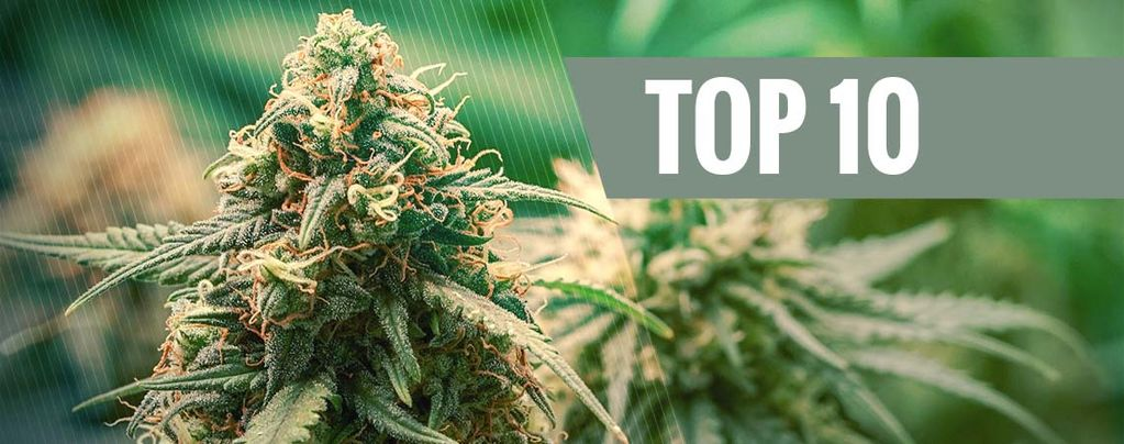 Beste Hybride Cannabis Soorten