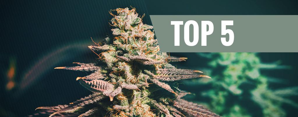 Top 5 Cannabis Soorten Voor Late Growers
