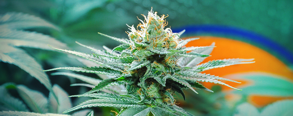 Oorsprong Van Amnesia Cannabis