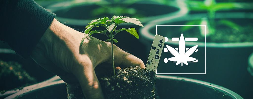 Je Eerste Cannabis Plant Kweken