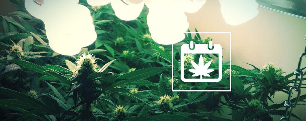 Meerdere Cannabis Oogsten Per Jaar