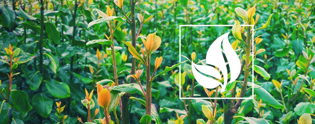 Khat (Catha edulis) 10 zaden