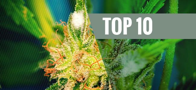 Top 10 Schimmelbestendige Cannabissoorten