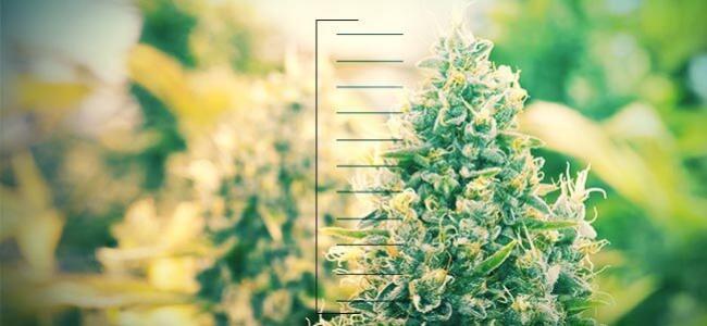 Top 10 Compacte Cannabisplanten