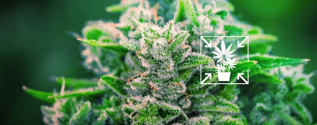 Hoe Kweek Je Lage En Compacte Cannabisplanten?