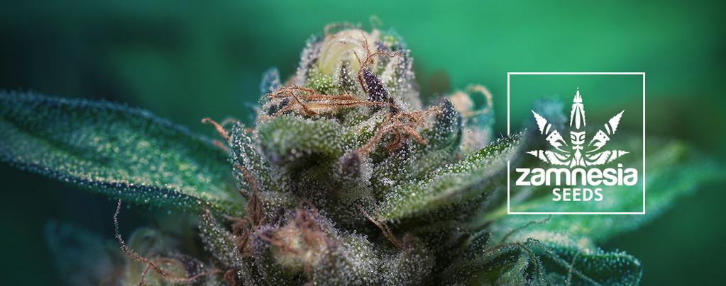 Auto Purple CousKush (Zamnesia Seeds) Feminized